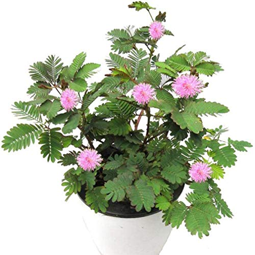 Sensitive Plant Seeds 100+ Mimosa Pudica, Moving Plant, Shy Plant, Touch-me-not - Green Plant