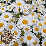 Walkretynbe 5000Pcs Shasta Seeds Flor Perenne Home Garden Bonsai Planta Ornamental para El Hogar Semillas de Margarita