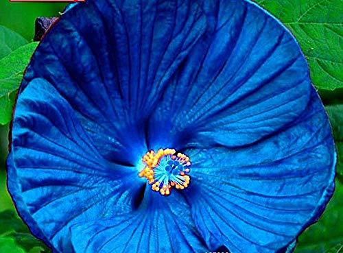 ScoutSeed KAUFEN 3 ERHALTEN 2 KOSTENLOS Riesen-Hibiskus-Blume Schöne Blumen-Bonsai-Samen 50pcs MIX