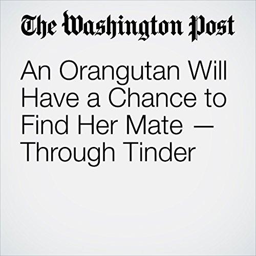 An Orangutan Will Have a Chance to Find Her Mate — Through Tinder copertina