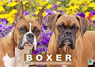 Boxer: Kulleraugen und Knubbelnase (Wandkalender 2022 DIN A2 quer): Charakterstarke Vierbeiner: Boxer (Monatskalender, 14 Seiten ) (CALVENDO Tiere)