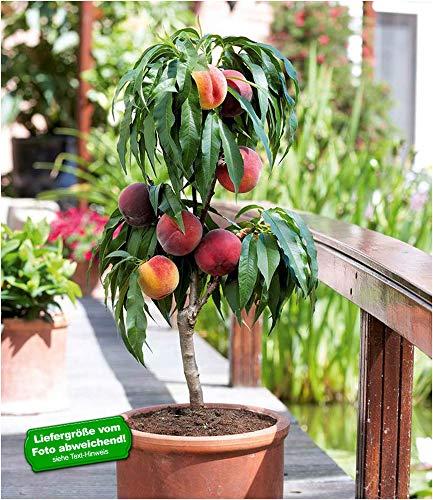 BALDUR Garten Zwerg-Pfirsich Bonanza, 1 Pflanze Pfirsichbaum winterhart
