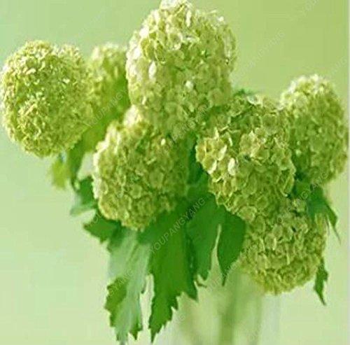 30 Pcs Hydrangea semences, hortensia bleu, Chine Hydrangea Graines de fleurs, bonsaïs Semences pour jardin Plantes Bourgogne