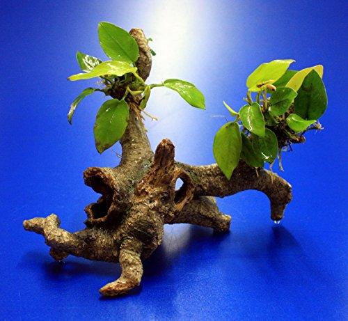 WFW wasserflora Goldenes Speerblatt-Urwaldbaum mit Höhle/Regenwaldbaum mit Anubia Nana Gold (Yellow Heart)
