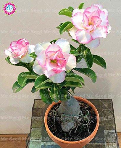 Mix Desert Rose Seeds, Graines Adenium obesum pétales de double Bonsai Fleurs Graines 100% Vrai Graine vivace Jardin Plante en pot