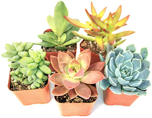 Product Image of the Succulent Plants (5 Pack), Fully Rooted in Planter Pots with Soil - Real Live...