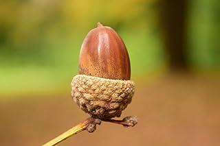 ラミネート36x 24ポスター: Acorn Close背景Beautiful Autumn Nature SeedsブラウンGreeting Card