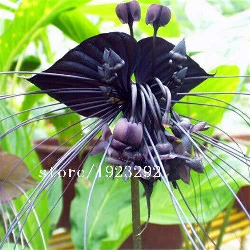Bloom Green Co. Italienische Mann Orchidee 100PCS Exotische Pflanzen Orchis italica Samen Pyramid Affe Orchidee Hausgarten Bonsai Balkon DIY: Gelb