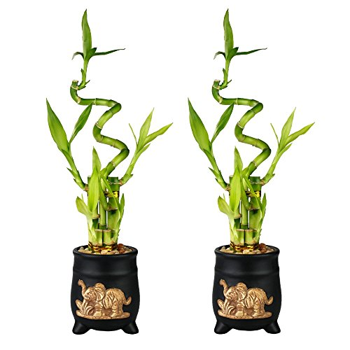 Set of Lucky Bamboo Five Stalk with Spiral Arrangements with Black Ceramic Elephant Standing Planters (Set of 2)