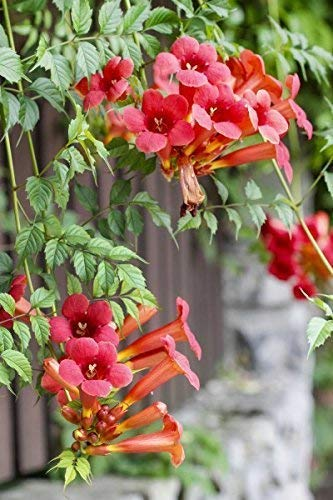 Trompetenblume - 30 Samen