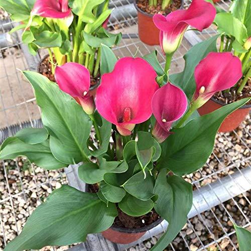 Promworld Samen saatgut winterhart mehrjährig,Calla Spezies-10 Mischfarben,Bunte Blumen