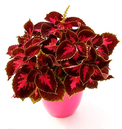 COLEUS RED IN VASO CERAMICA FUCSIA, pianta vera