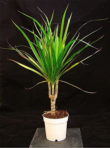 Easy Plants 1 immergrüne Drachenpflanze in 10 cm Topf 40–45 cm hoch für Ihr Haus/Büro, 1 Pflanze