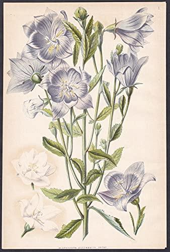 Platycodon Autumnalis Decne - China Japan flower Blume flowers Blumen botanical Botanik botany