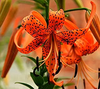 Orange Tiger Lily Bulbs - 10 Bulbs Great in Pots Planting Now for Summer Blooms