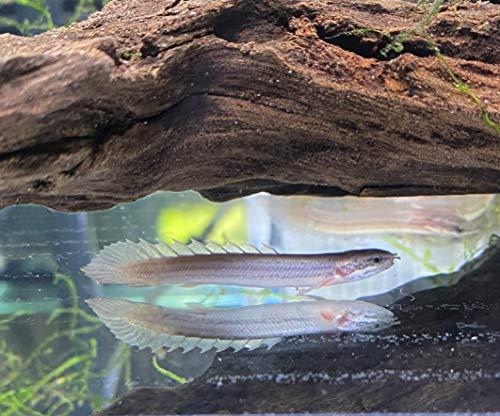 【熱帯魚】 ポリプテルス セネガルス 6-8cm 1匹 (東京倉庫出荷)