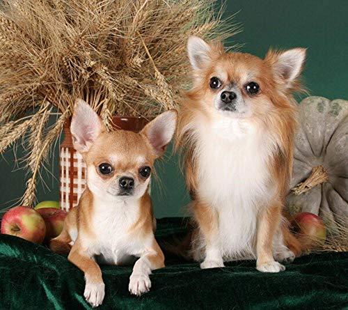 5D DIY pintura de diamante punto de cruz colorido Chihuahua lindo perro perro de cristal taladro completo diamante bordado kits salón decoración