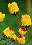 Tropica - Kräuter - Parakresse (Acmella oleracea) - 200 Samen