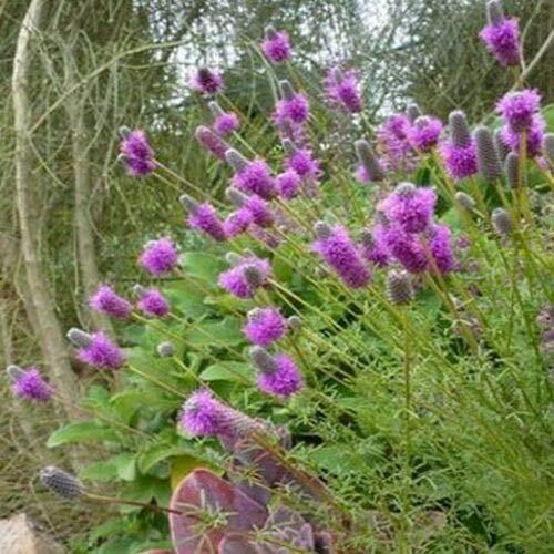 Clover [Prairie Dalea Purpurea Purple, 500 Seeds]