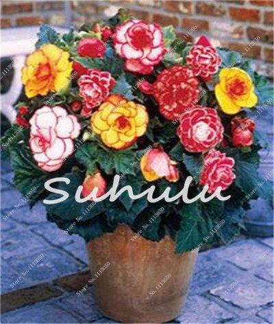100 Pcs Bonsai Graines Begonia hybrida Voss lanternes Fleurs Begonia Malus Spectabilis chinois décoratifs Bonsai Fleurs de jardin
