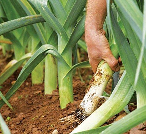 100 PCS oignons verts graines rouges créoles Grande Vegetable Seeds NO-OGM, grand légume sain, vous font paraître plus jeune