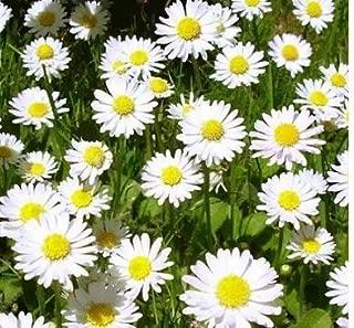 100+ True German Chamomile Seeds / Herb / Flower Seeds / Perennial