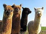 Puzzle 1000 Piezas Regalos De Arte De Alpaca Puzzle 1000 Piezas paisajes Rompecabezas de Juguete de descompresión Intelectual Gran Ocio vacacional, Juegos interactivos familia50x75cm(20x30inch)