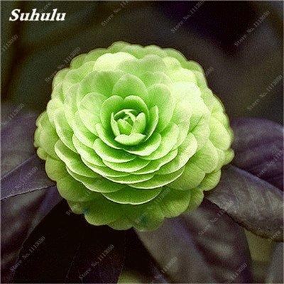 Grosses soldes! 10 Pcs Camellia Graines, Graines Bonsai Fleur, couleur rare, bonsaïs d'intérieur / extérieur Plante en pot pour jardin Facile à cultiver 5