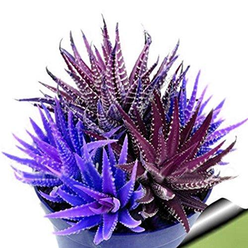 Yukio Samenhaus - 20pcs Rarität Mini-Echeverien Sukkulenten Mischung, Zimmerpflanze Mischung pflegeleicht langlebig, Blumensamen winterhart mehrjährig