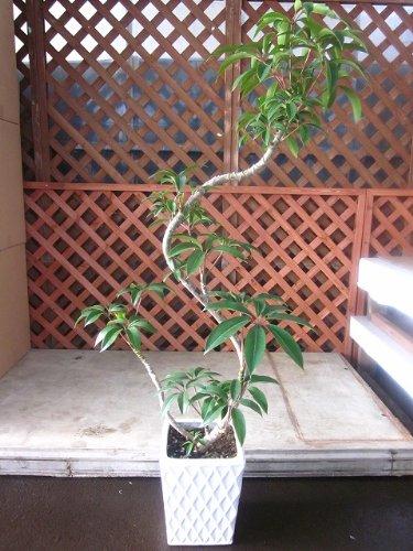ツピダンサス・カリプトラタス(チュピタンサス) 曲がり 陶器鉢植え 観葉植物