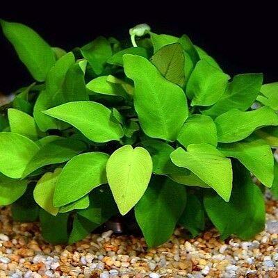 Anubias Barteri Nana MOTHER XXL Potted Freshwater Aquatic Live Aquarium Plants