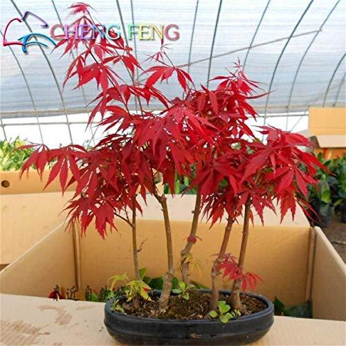 Pinkdose 20 PC/Satz Japanische Rote Ahorn seltenes Regenbogen-Farbe * Sehr schön Japan Pflanzen New Garden beobachtet Bonsai-Baum-Geschenk: 6