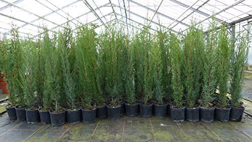 5x Mittelmeerzypresse 90-110 cm Säule Toskana Zypresse Cupressus Sempervirens Hecke Heckenpflanze