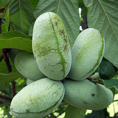 """""""ポポーの苗木""""12cmポット苗(ポット苗なのでほぼ年中植付け可能!)【果樹 3年生実生苗/即出荷】バンレイシ科の中では唯一耐寒性があり、日本でも寒冷地以外では露地植え可能です。果肉は黄色から薄いオレンジ色で、中に柿の種を大きくしたような種がいくつも入っています。熟すと非常に香りが強く、トロピカルフルーツを思わせる甘くなんともいえない香りがします。味はねっとりとした果肉でとても甘味が強く酸味は甘さに隠れてあまり感じません。アメリカでは、アメリカン・カスタードアップルと呼ばれています。落葉果樹ですので晩秋から翌春までは葉の無い状態でのお届けとなります。学名: Asimina triloba バンレイシ科に属する落葉高木。北米原産。明治期に日本に持ち込まれた。ポポーやポポーノキ、ポポ、アケビガキとも呼ばれる。ポポーの樹皮や種子、新葉にはアセトゲニンといわれる強い殺虫成分が含まれており、害虫に対しとても強く、無農薬で栽培できる果物とされています。生産量が減り、今では希少な果樹です!!【自社農場から新鮮苗直送!!】【即出荷】"""