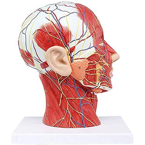 FSJIANGYUE Head Anatomical Model, Head Median Sagittal Section with Vascular Nerve Model Brain Model Medical and Aesthetic Education