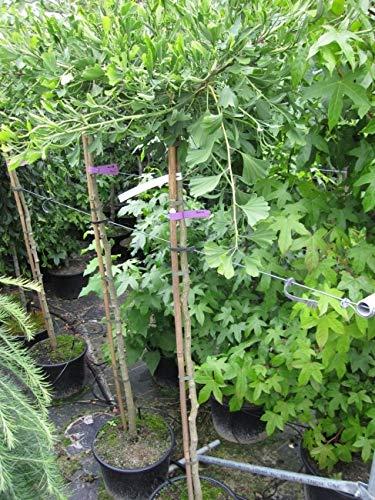 Ginkgo biloba Weeping Wonder - Fächerblattbaum Weeping Wonder - auf einem 150 cm Hochstamm veredelt -