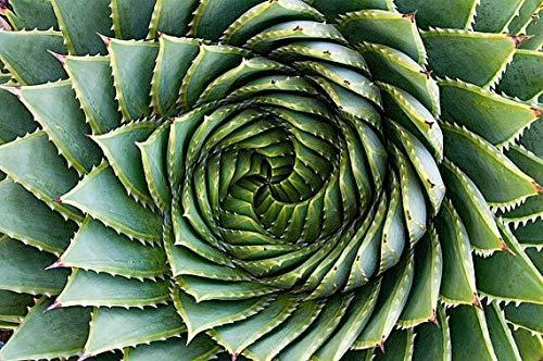 Pinkdose Rare Spirale Aloe graines - Aloe Vera avec un Twist, Montagne frais Aloe Polyphylla Seeds, nouvelles semences 20 Livraison gratuite