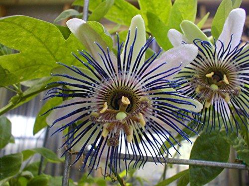 Passiflora bryoniodes passiflore 10 graines en forme de coupe