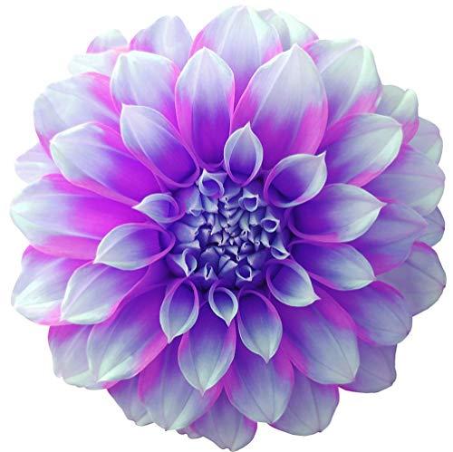 Plantes vivaces en pot Dahlia - grandes belles fleurs coupées - facile à planter - bulbes/racines de Dahlia (1, blanc et violet)