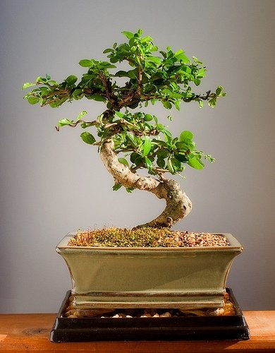 Imported Fukien Tea Bonsai Tree by Sheryls Shop
