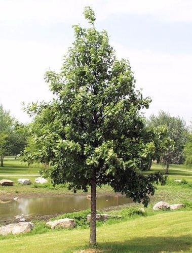 Grower's Solution Swamp White Oak Tree