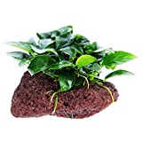 Greenpro (Anubias Nana Petite Lava Stone) Anubias, Java Fern, Moss and More! Freshwater Live Aquarium Plants on Driftwood for Aquatic Tropical Fish Tank Decorations - Easy to Drop