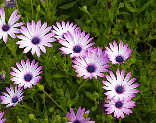 Glockenrebe 5 Samen (Glockenrebe Purple) Es wächst extrem schnell