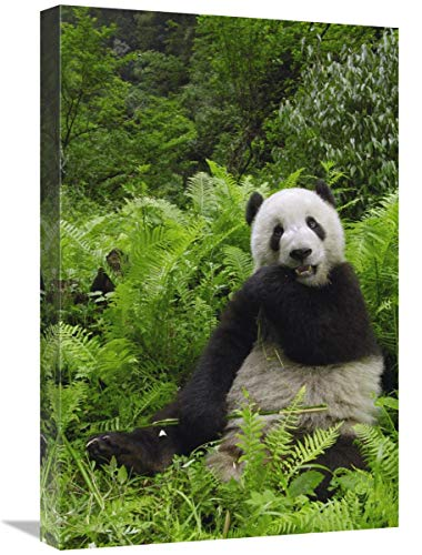 Global Gallery Panda Gigante Comiendo bambú Wolong Nature Reserve, Arte en Lienzo...
