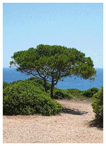Tropica - Méditerranée - Pin (Pinus pinea) - 6 Graines