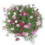 Yumhouse Semillas de Flores para Jardin,Chrysanthemum Seed cosmos-100 g_February,Semillas de Flores Exterior trepadoras