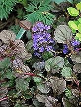 Perennial Farm Marketplace Ajuga r. 'Bronze Beauty' ((Bugle Weed) Groundcover, 4