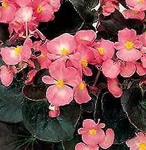 Begonia Senator IQ Pink Annual Flowers Seeds 2.000 Pcs an