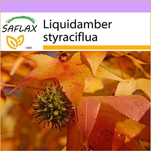 SAFLAX - Amerikanischer Amberbaum - 100 Samen - Liquidamber styraciflua