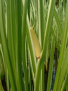 250 SWEET FLAG WETLAND POND GRASS Acorus Calamus Ornamental Seeds